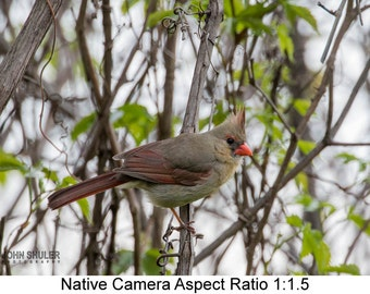 Northern Cardinal (Female): Bird art photography prints for home or office wall decor.