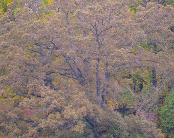 Autumn Tree Print, PHOTOGRAPHY, LANDSCAPE, WALL art, trees, nature, wood, picture, art