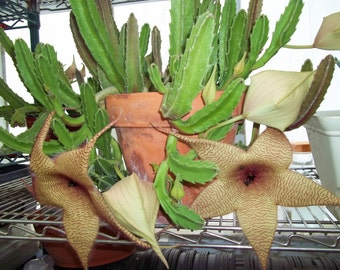 Lot of 2 Starfish Cactus Succulent Plant Cuttings Mystery blooming Stapelia