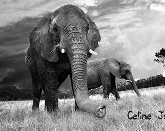 Elephant picture - black and white / photo d