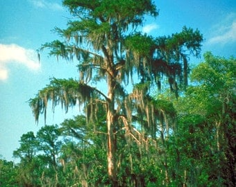 5 à 25 seeds of Taxodium distichum, Louisiana cypress tree swamp and wetlands, home to be basic water and air