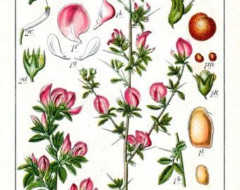 restharrows print, botanical print, ononis herb print