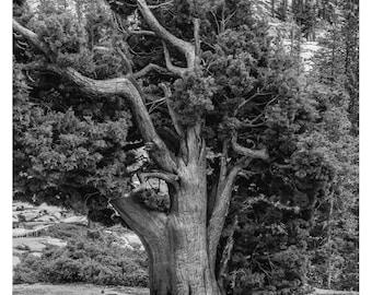 Tree at Yosemite