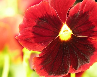 Large Red Pansy Photograph