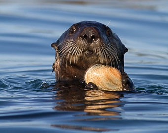 Otter with Clam, Nature Photography, Wildlife Photography, Fine Art Photography