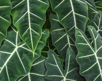 Velvet green leaves: Fine Art Photography