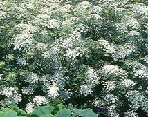 Queen Anne's White Bishops Lace Flower Seeds/Ammi/Annual    50+