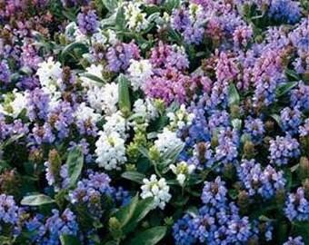 Prunella Grandiflora Pagoda Mix Flower Seeds/Perennial  50+
