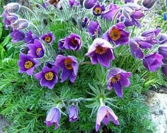 Violet Pasque Flower Seeds/Anemone Pulsatilla/Perennial   25+
