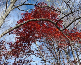 Tree Top Red