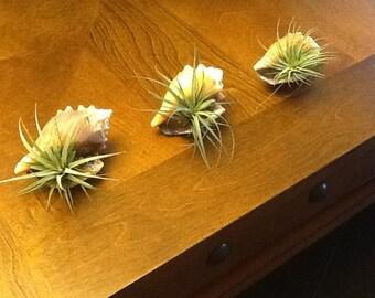 "3"" Seashells with LIVE Air Plants. LOT"