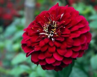 Red Zinnia Bloom