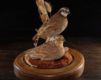 Taxidermy Quails