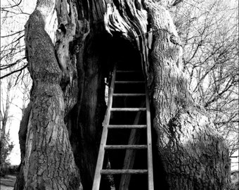A lift to the old oak
