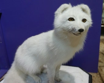 Taxidermy Arctic Fox