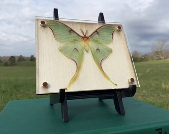 Luna Moth Suspended on Acrylic with Wood Backing Floating Shadow