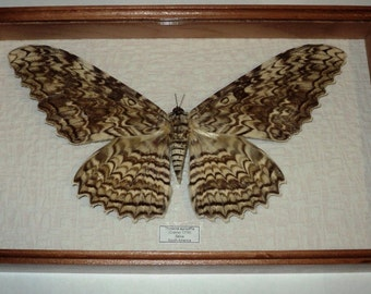 Thysania agrippina in frame made of expensive wood