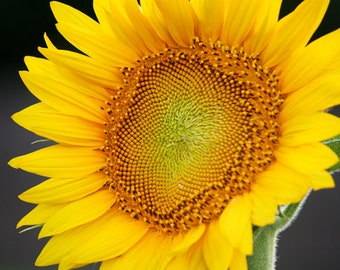 Sunflower Photograph, Nature Photography