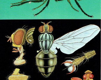 Old School Poster Zoology 1990 Jung-Koch-Quentell fly Anatomy