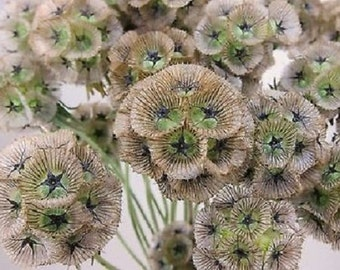35+ Star Flower Pincushion Scabosia / Perennial Flower Seeds