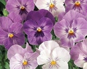 35+ Lilac Shades Pansy Panola / Shade Loving Annual Flower Seeds