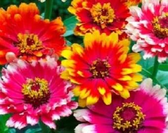 50+ Carrousel Mix Zinnia / Annual Flower Seeds