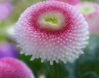 50+ Bellis English Daisy Strawberries and Cream / Perennial / Biennial Flower Seeds