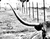 """Longhorn """"Poke"""" Fine Art Print, Cattle Fine Art, Weatern Fine Art, Cowgirl Fine Art, Cowboy Country, Farm Art, Canvas, Home Decor, Wall Art"""