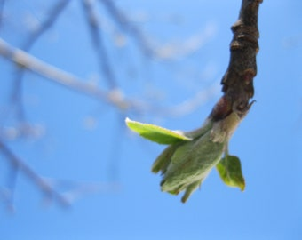 Apple Tree Bud in the Spring, EmZ Cards