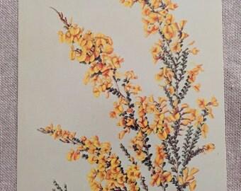 Alison Ashby Australian Wild Flowers SA Museum Series Postcard 165 - Bossiaea Foliosa - November 1975 - new condition