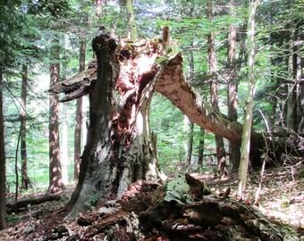 Broken Beech tree