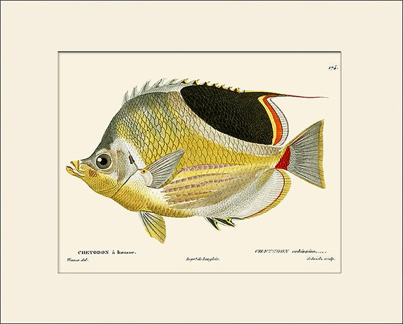 Vintage Fish Print #174, Art Print with Mat, Natural History Illustration, Beach House Wall Art, Nautical Art, Sea Life Prints, Wall Decor