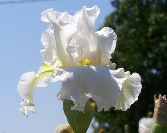 Bridal Icing,one iris rhizome