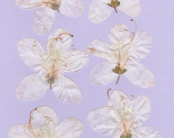 ITEM #WAZ - Real pressed flowers - White Azaleas - 6 per order, DIY wedding, greeting cards, invitations, scrap booking, stained glass