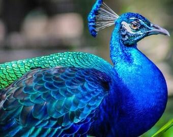 Metallic Peacock Fine Art Print - Nature, Botanical, Wildlife, Garden, Nursery Decor, Home Decor, Baby, Zen, Gift