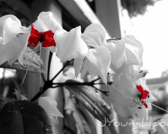 Photograph: Bleeding Heart Flower 5x7 print Nature Photography Black, White and Red