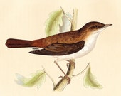Nightingale Print . Antique Bird Engraving . Morris Vol III . original hand coloured woodblock art plate date 1853