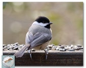 Chickadee Photograph 8x10 Fine Art Photo Songbird Backyard Bird Nature Neutral Colors Bird in Early Spring Natural Home Wall Decor