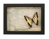 Vintage Map of Washington State with Framed Tiger Swallowtail