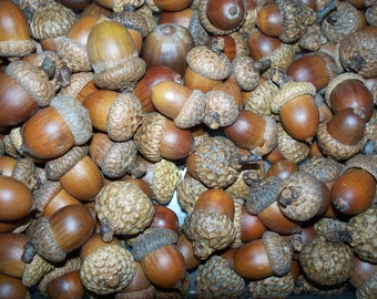 100  Acorns, For Crafting  (Free US Shipping)