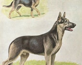 Vintage 1950s 1958 original magazine illustration - German Shepherd