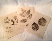 Botanical Leaf Rubbings 1927 -  Set 3 - Mulberry - White Ash - Basswood Linden - Wall Art - Vintage