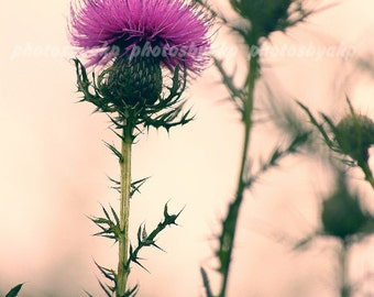 11 x 17 inch poster print Kentucky Pink Thistle