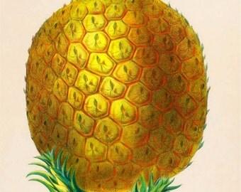 antique french botanical print ananas pineapple illustration digital download