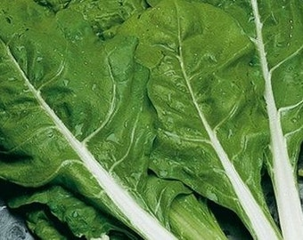 Chard, Chard Seeds Selection | Bail Swiss Chard + beta vulgaris