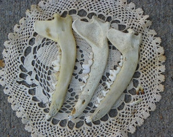 Cruelty Free No. D2 Coyote Jaws Jaw Bones Mandibles Mandible