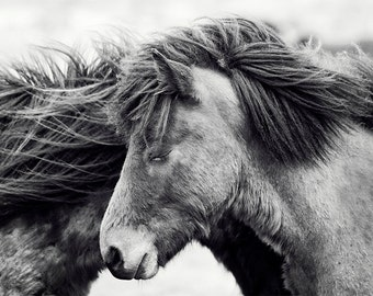 Black and White Horse Photograph of Icelandic Horses, Cuddling Horses