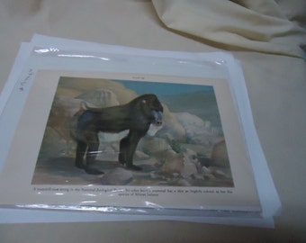 Vintage Mandrill African Baboon Picture From Magazine, collectable
