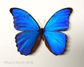 Real Butterfly Specimen Unmounted Ready Spread - Giant Blue Morpho