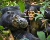 Baby Chimpanzee Playing w...